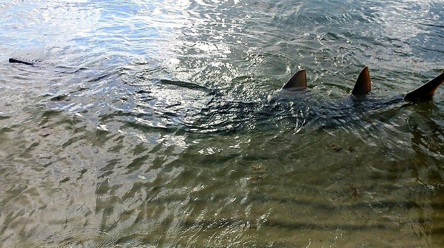 Celebrate National Sawfish Day on Wednesday