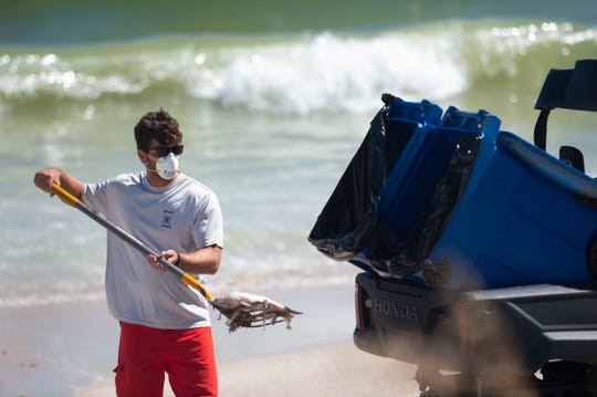 Wearing a mask to protect from red tide exposure, Vero Beach Ocean Rescue lifeguard A.J. Nicholson shovels dead fish into a trash bin Tuesday, Oct. 16, 2018 at Jaycee Park in Vero Beach. City of Vero Beach workers from ocean rescue, the recreation department and public works removed the fish from the beach using shovels, trash bins and machinery.