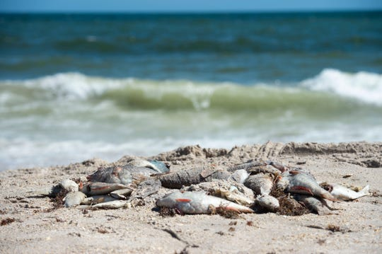 A variety of dead fish, including parrotfish, flounder, snapper, angelfish and cowfish, washed ashore Tuesday, Oct. 16, 2018, at Jaycee Park in Vero Beach. A Harbor Branch Oceanographic Institute scientist confirmed Atlantic Ocean water in Vero Beach contained about 1 million red tide cells per liter.