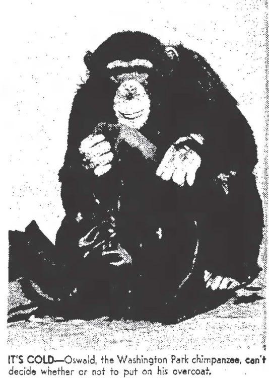 Elpbrd 05 01 2016 Times 1 F007 2016 04 29 Img Oswald The Chimpanze 1 1 Dfe68sen L801216228 Img Oswald The Chimpanze 1 1 Dfe68sen