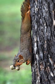 A squirrel carries two acorns at once as it gathers food for the winter Monday on the Midwestern State University campus.