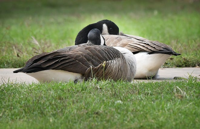 A pair of Canada geese tuck their bills under their feathers as a cold wind blows across Sikes Lake Monday.