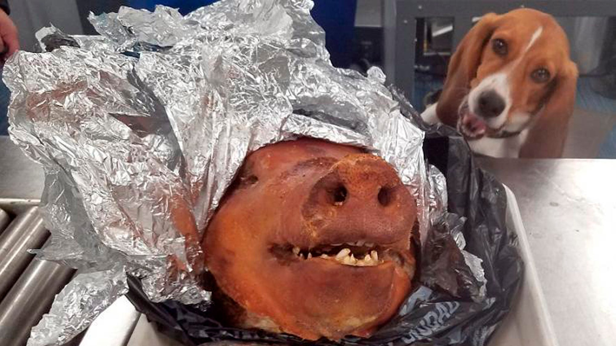 LOOK: Cute Customs beagle intercepts roast pig at Atlanta airport