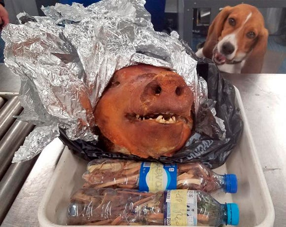 In this Oct. 11, 2018 photo provided by the U.S. Customs and Border Protection, CBP Agriculture Detector K-9 named Hardy looks at a roasted pig's head at Atlanta's Hartsfield-Jackson International Airport.