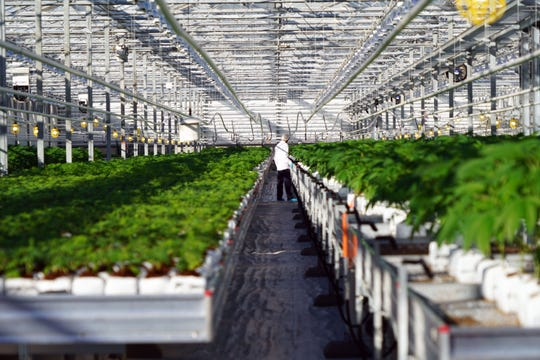 A worker at Canadian marijuana producer Pure Sunfarms moves plants inside a greenhouse. Because of concerns about crossing the U.S. border, few marijuana industry workers in Canada are willing to be photographed in a way that allows them to be identified.