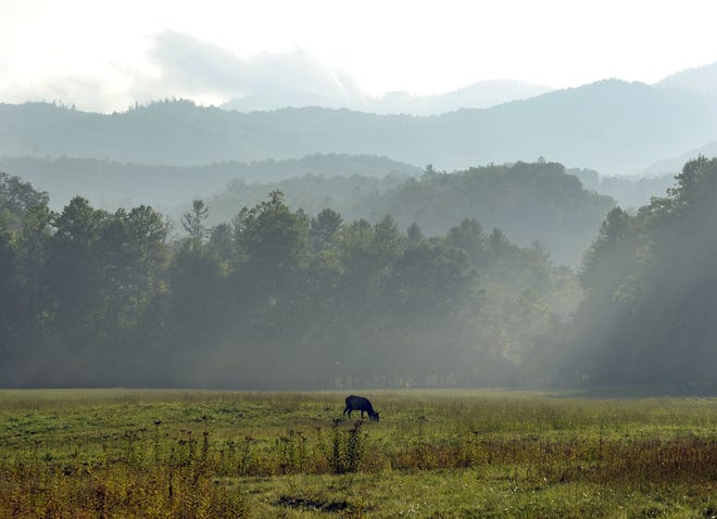 In this file photo, a female elk grazes in the fields of Cataloochee Cove after a brief shower fills the valley with rising fog. The park has suspended a program providing volunteers in Cataloochee.