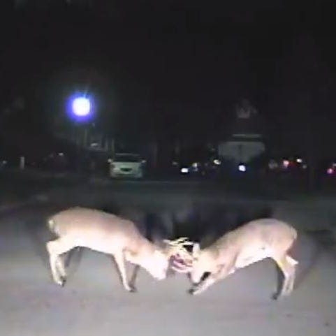 Watch: Two bucks tussle near Blue Ash police officer. Police cam records it all