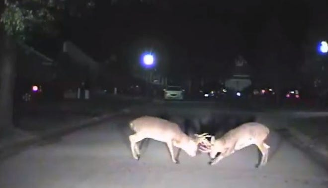 Two bucks tangled right in front of a Blue Ash officer. The fight was captured on police camera.