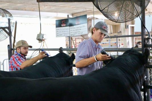 Beef Show Shave Crop