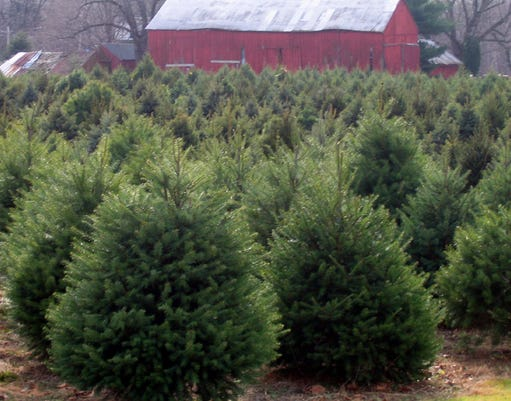 Encouraging purchase of New Jersey grown Christmas trees PHOTO CAPTION