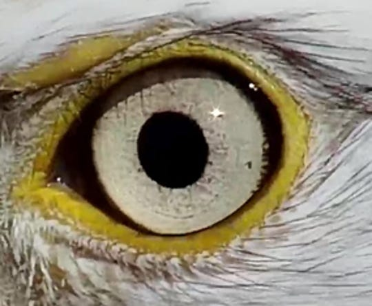 The iris of the male who has been seen this fall around the nest at Decorah.