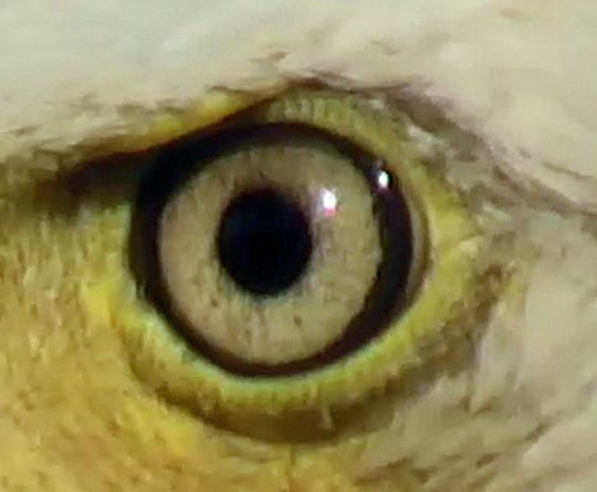 The iris of the male bald eagle who came to the nest last spring after Dad Decorah disappeared.