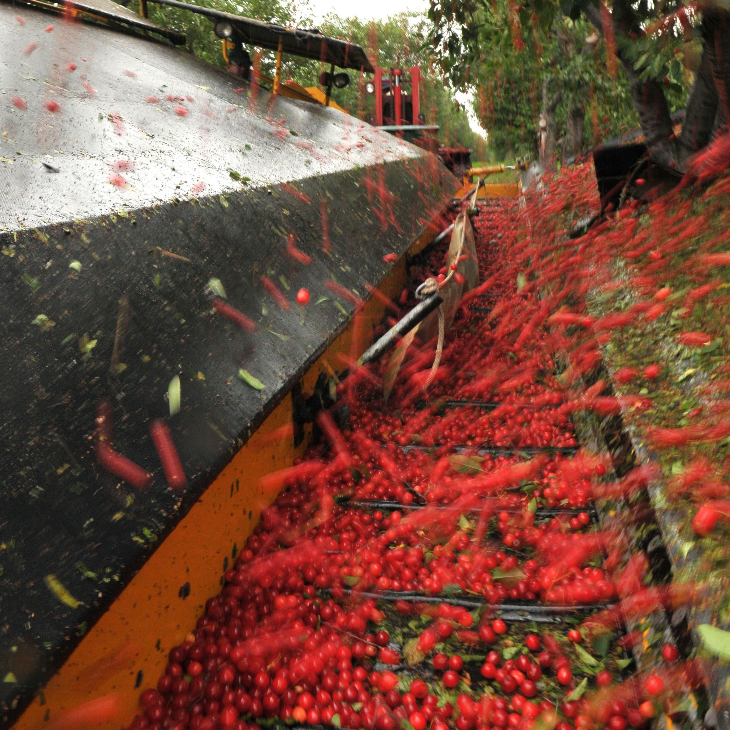 Michigan cherry industry sour over Turkish imports