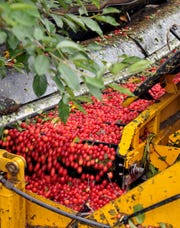 Tart cherries move along a conveyor belt during the July harvest at Cherry Bay Farm in Leelanau County. Growers of tart cherries in Michigan have seen their prices cut in half as U.S. imports of tart cherry juice concentrate from Turkey has increased 89 percent in five years.