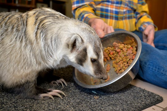 Gilbert the badger eats his dinner in the kitchen with his owner Mac White on the McFarland White Ranch in Two Dot Montana.