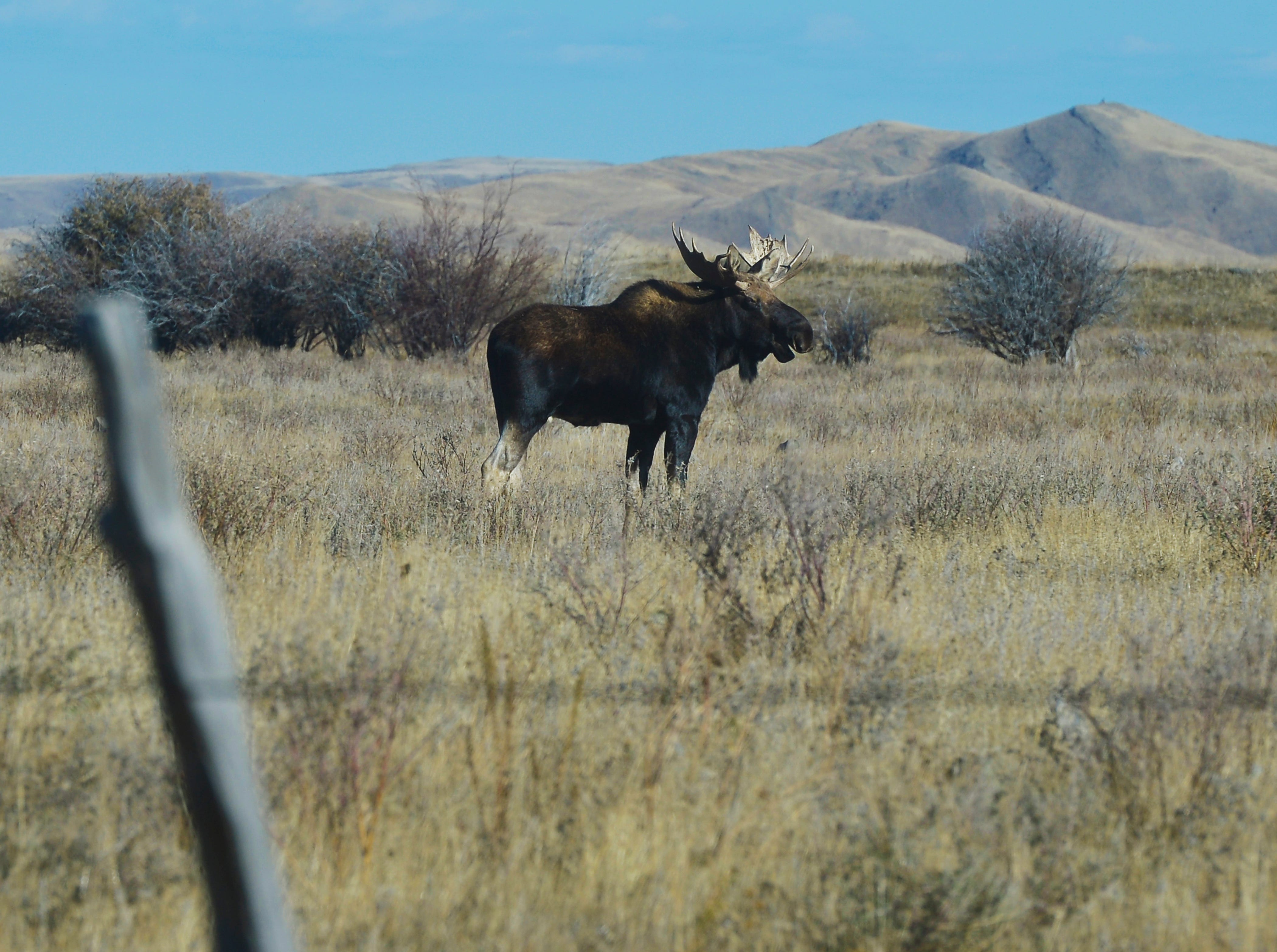A bull moose feeds in a field at the foot of the Crazy Mountains near Two Dot.