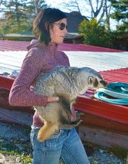 Rachael Spangelo carries Gilbert the badger from his enclosure to the house for his dinner at the McFarland White Ranch in Two Dot, Mont.