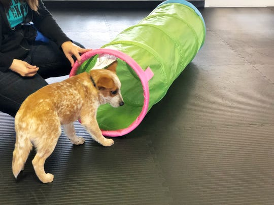 Certified dog trainer, Kelly Duggan encourages 17-week-od Chewy (Chewbacca) to walk through the tunnel during the puppy social on Oct. 13.