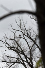 An eagle can be spotted in the distance perched in a tree near Raccoon Creek in Granville.