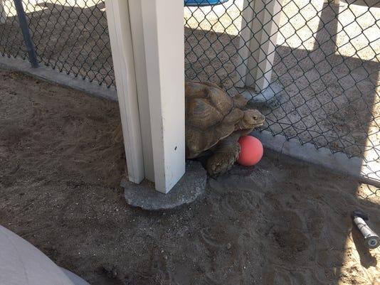 Found Tortoise 10172018