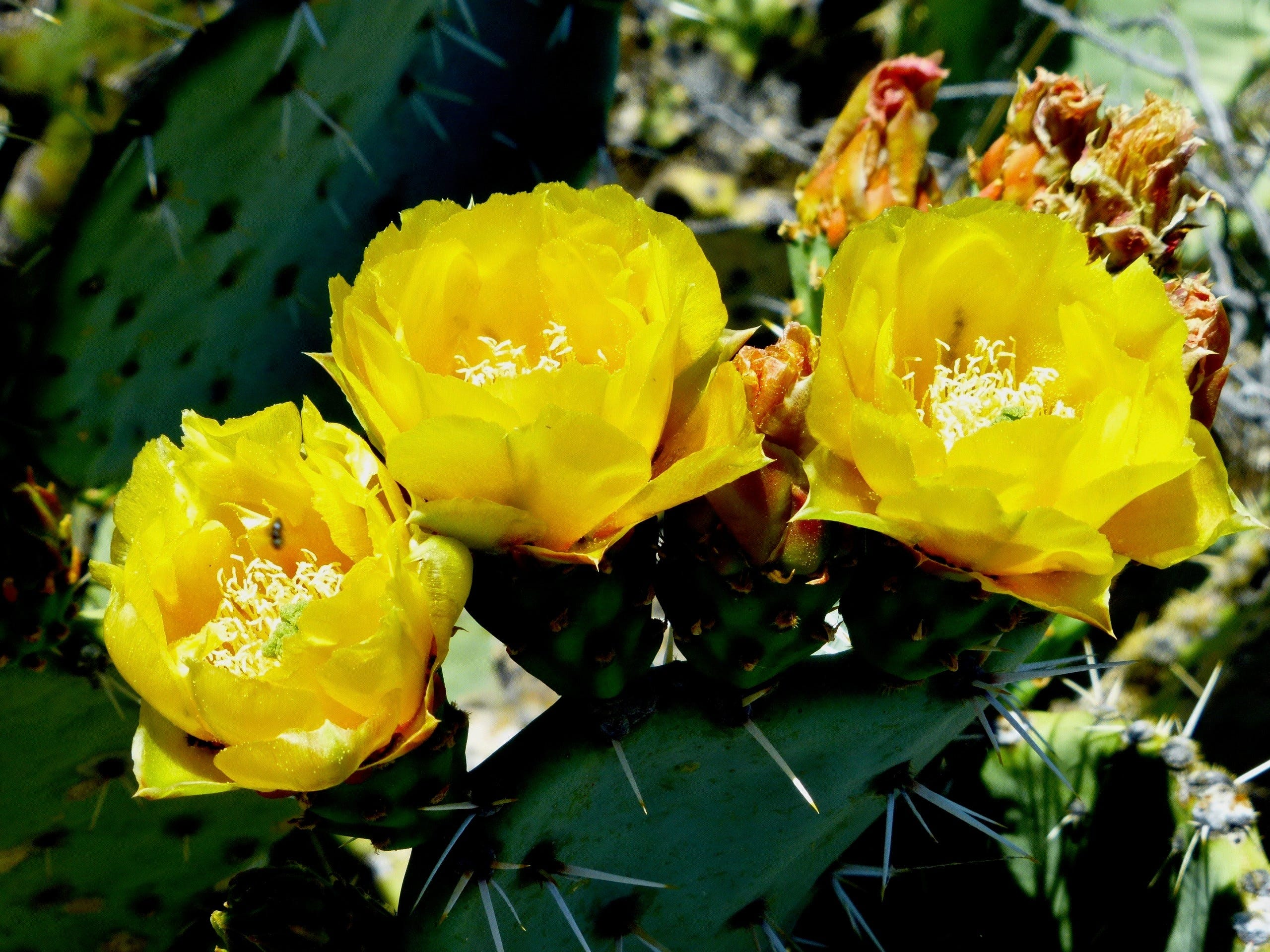 Prickly pear cactus flowers bloom along the Arizona Trail in Oracle State Park.
