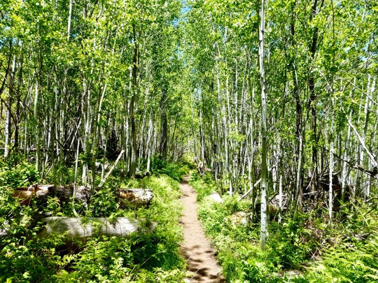 The Aspen Trail in the Santa Catalina Mountains curves through groves of the namesake trees.