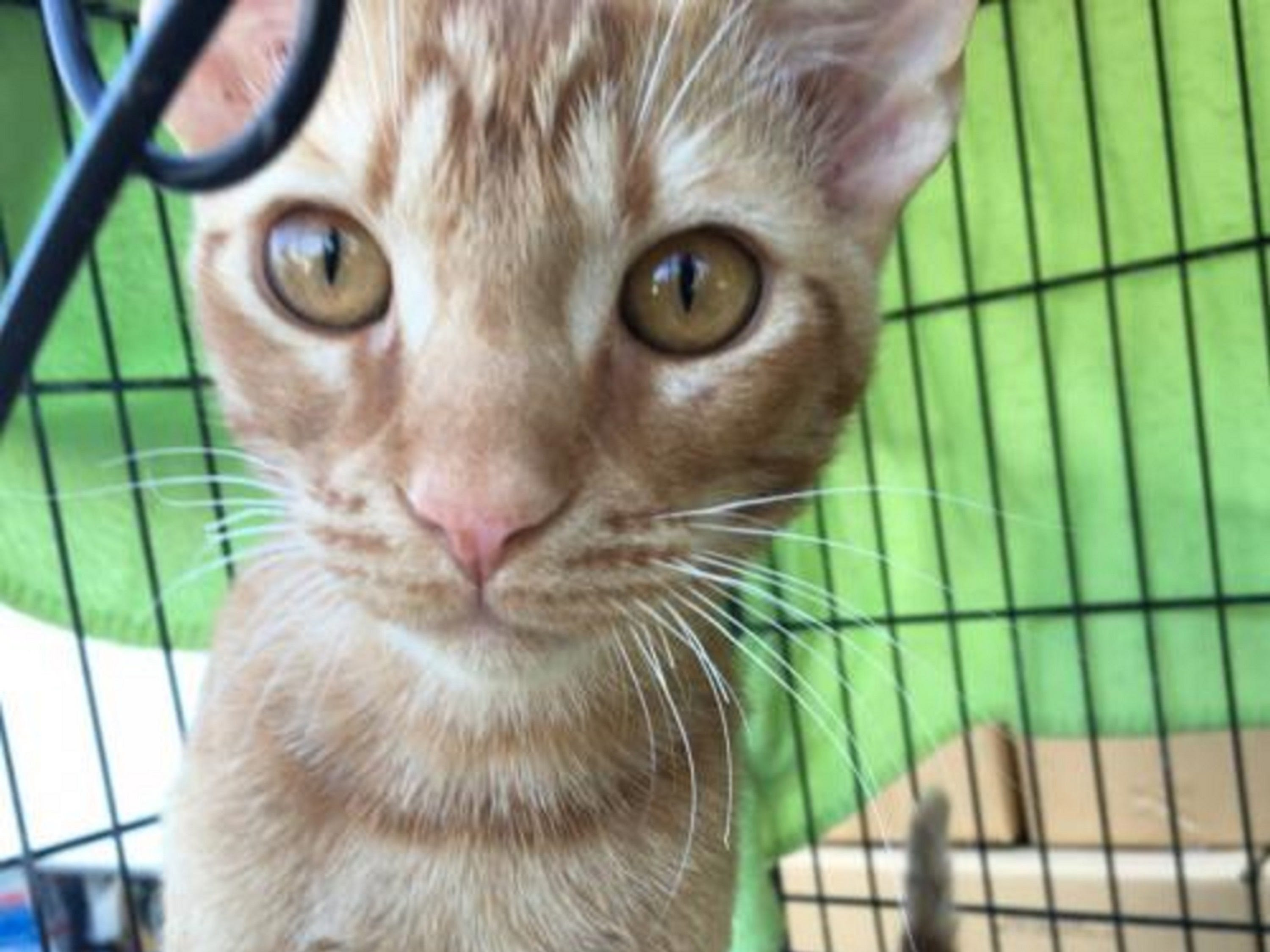 Cypress is sweet, outgoing, 6-month-old male kitten. He can be independent, but loves attention and likes to play. Cypress is very inquisitive but will need time to adjust to a new home. Raining Cats N Dogs adoptions include spay/neuter services, vaccines and vetting as needed. Call 232-6299. Go to http://rainingcatsndogs.rescuegroups.org.