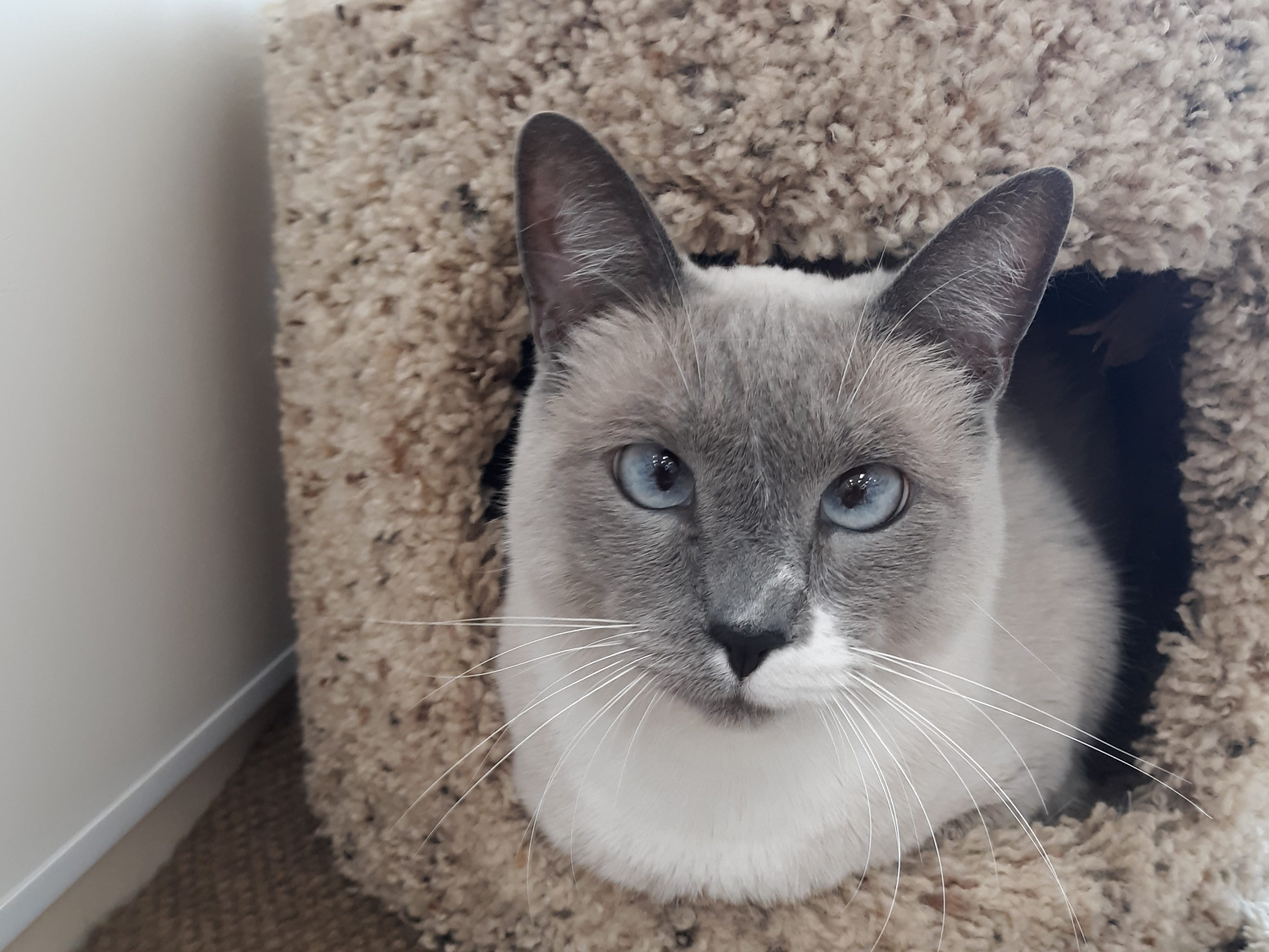Taz is a 4-year-old, male blue-point Siamese. He's very loving and gets along with other cats. All animal adoptions include spaying or neutering and vaccinations. Apply with Another Chance Animal Welfare League at www.acawl.org. Call 356-0698.