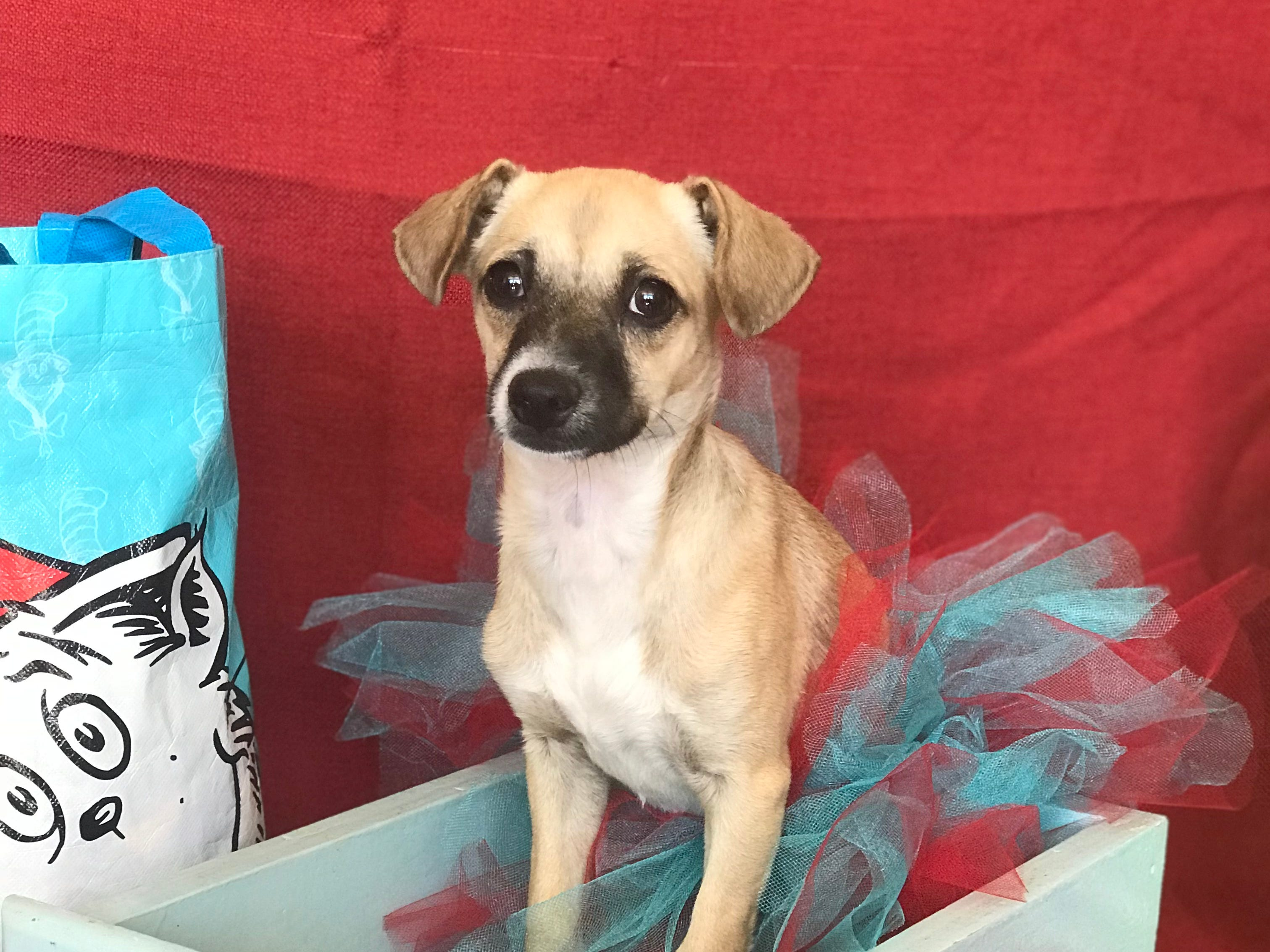 Evangelina is a sweet little Chihuahua-terrier blend who's around 4-months old and gets along with other dogs and cats. She's learning leash manners and is being house trained. Visit Tails of Rescue Adoption Center, 981 Lake Blvd., Redding. Call 448-7444. Go to http://tailsofrescue.org.