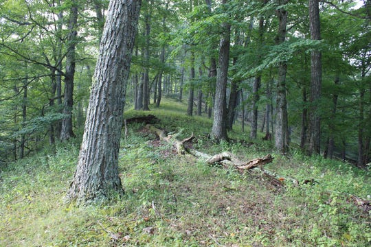 A section of old-growth forest on Bill and Lynn Limpert's Bath County land.