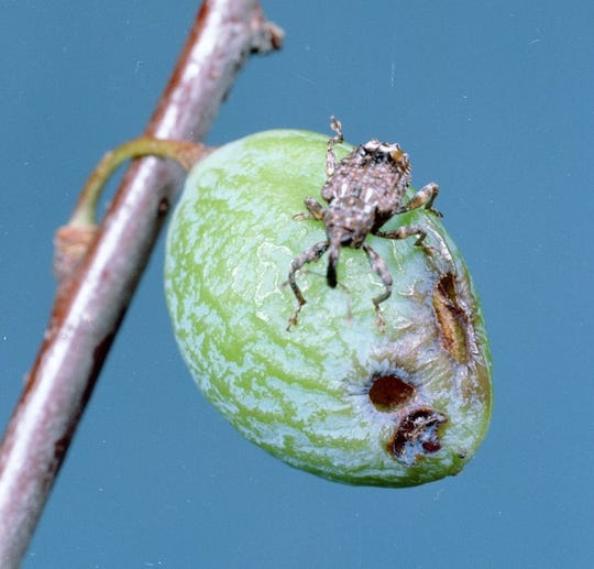 Many stone fruit varieties are susceptible to damage by the insect plum curculio.
