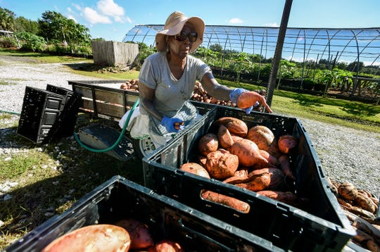 """""""I think it's a wonderful service to the community. It's a great thing to be a part of,"""" said volunteer Hyacinth Brown of Sebastian as she washes and sorts freshly harvested sweet potatoes Wednesday, Oct. 17, 2018, at the Shining Light Garden in Vero Beach. The non-profit garden, started in 2008 by Joel Bray in his back yard, has grown to a 20-acre operation run entirely by volunteers that gives away one hundred percent of its harvest to the less fortunate in the community. Shining Light Garden is celebrating its 10th anniversary on Saturday, Oct. 27, 2018, by inviting the public to tour the farm and enjoy a free fish fry and barbecue."""