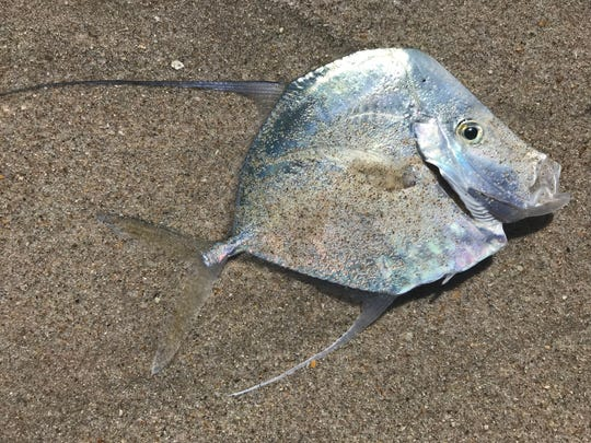 This iridescent reef fish washed ashore Oct. 17, 2018 at Tracking Station Beachfront Park. Indian River County's beaches were closed to the public after red tide was confirmed by the Florida Fish and Wildlife Conservation Commission.