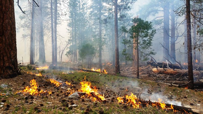 A low-intensity prescribed burn moves through a cedar forest in Cedar Grove in 2017.