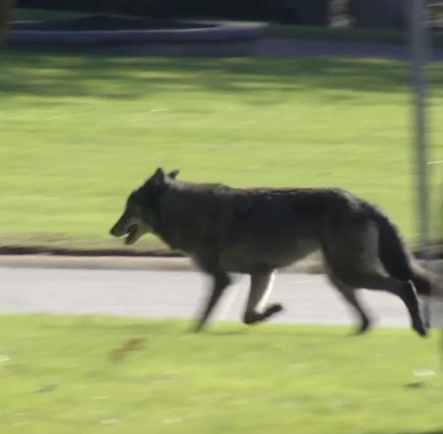 Is that a wolf running through the Brandywine Hundred suburbs?