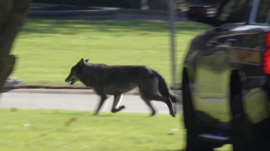 A loose dog that many feared was a wolf was captured Wednesday in Brandywine Hundred.