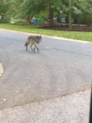 A pet that looks a lot like a wolf was loose in Brandywine Hundred Wednesday, but has been reunited with its owner. The dog's breed wasn't immediately evident, but wolf-dog hybrids are legal to own in Delaware with a permit.
