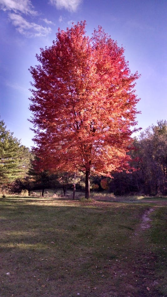 Wsf 1019 Apps Red Maple