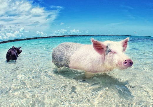 Photos: The famous swimming pigs of the Bahamas