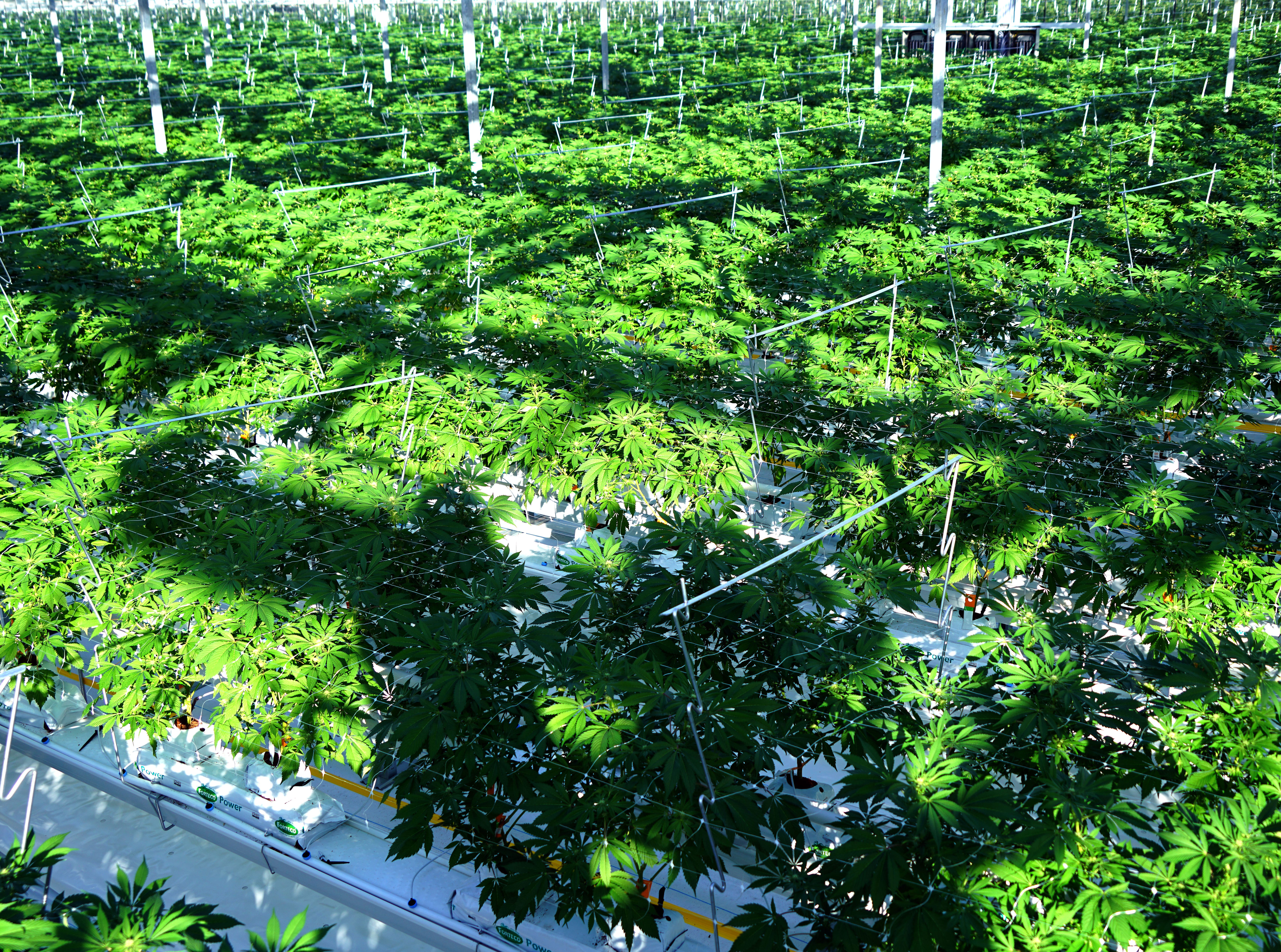 An estimated 9,000 marijuana plants grow inside a sunny greenhouse in Delta, British Columbia at marijuana producer Pure Sunfarms. This greenhouse represents about 25 percent of the farm's capacity.