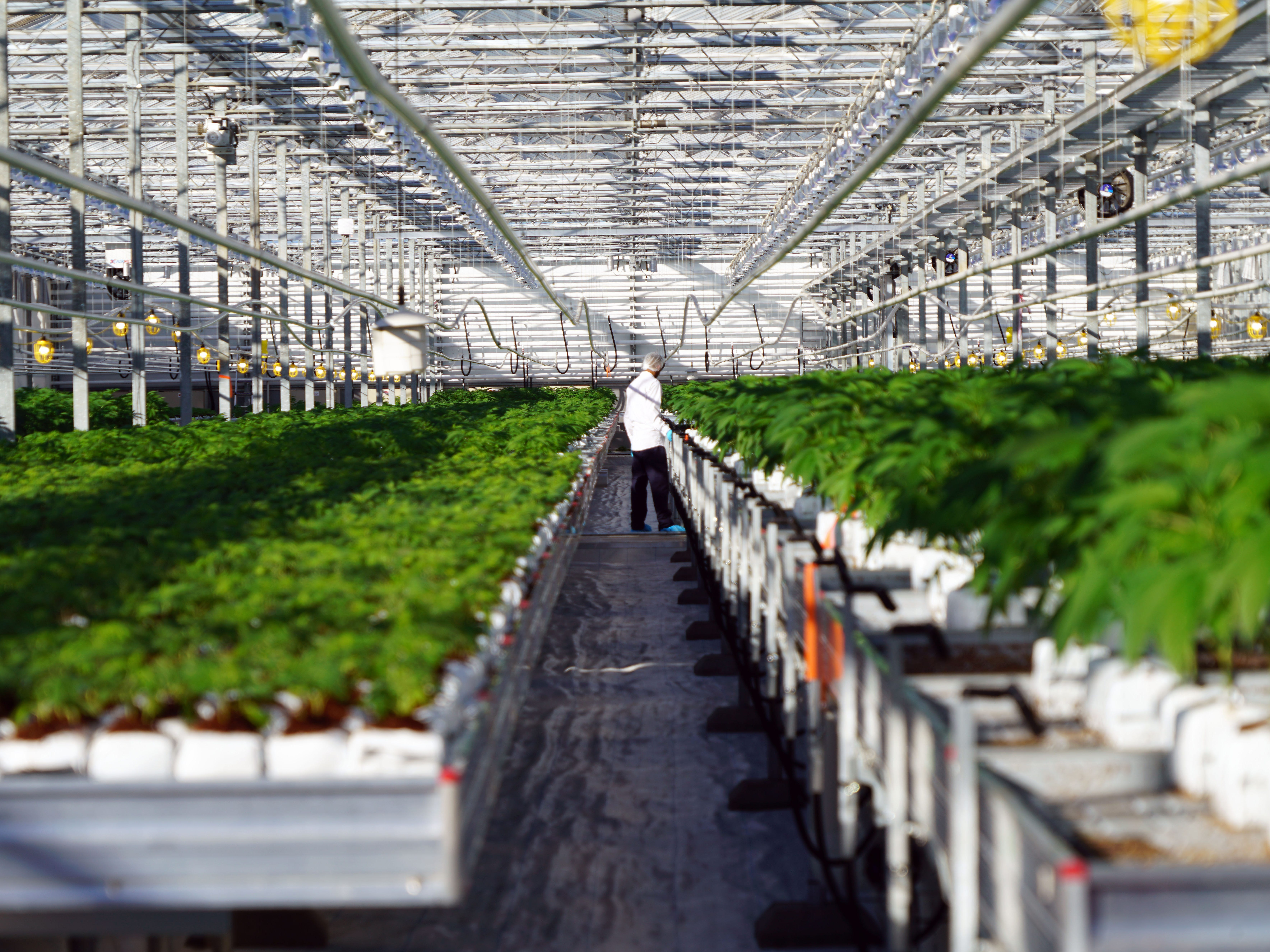A worker at marijuana producer Pure Sunfarms in Delta, British Columbia moves plants inside a greenhouse.