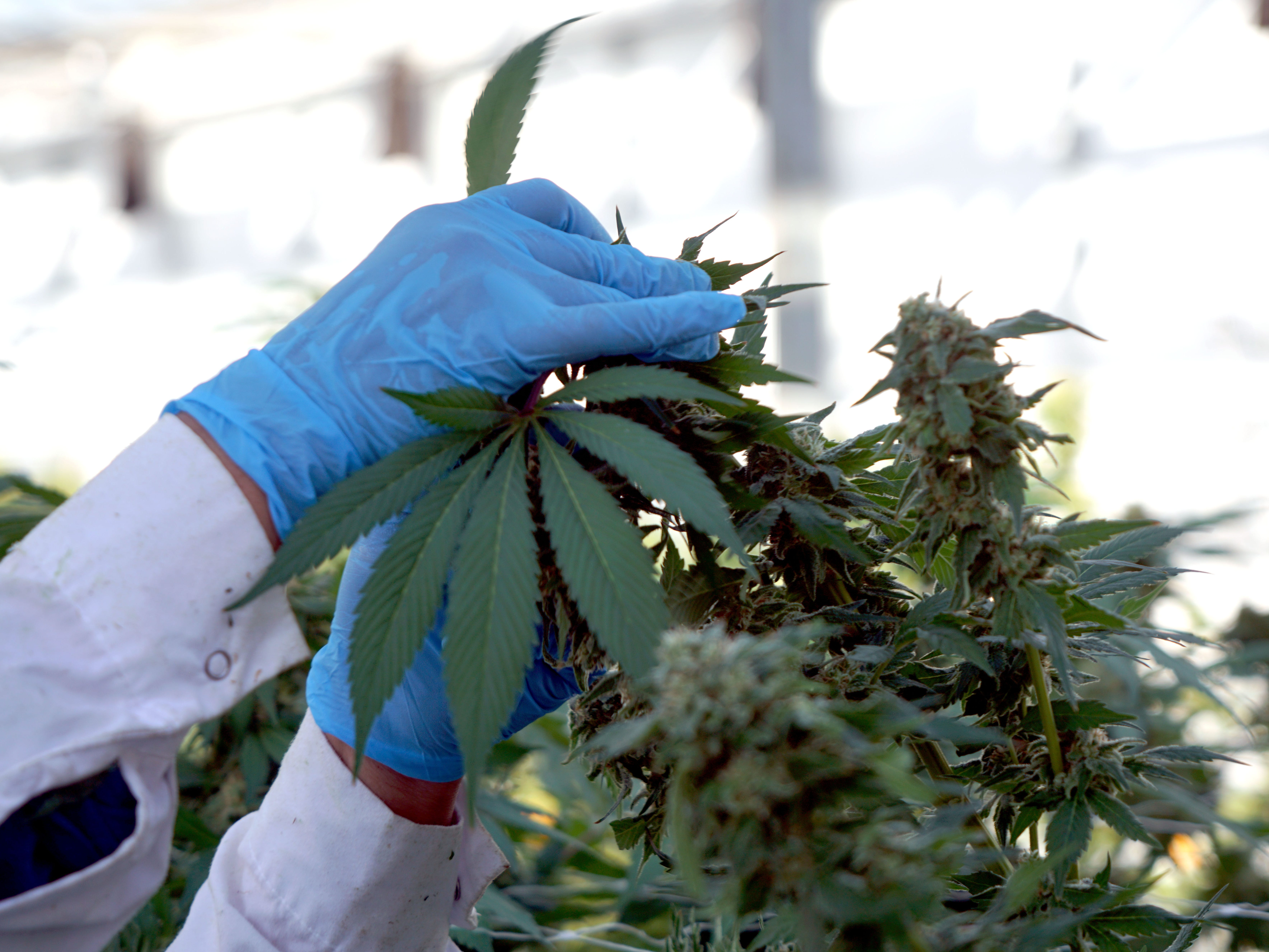 A worker at marijuana producer Pure Sunfarms in Delta, British Columbia trims a plant inside a greenhouse.