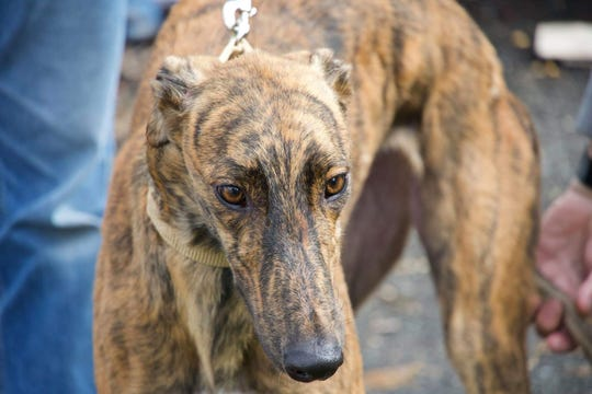 New Jersey Greyhound Adoption Program (NJGAP) will host a Meet & Greet at Lone Eagle Brewing, 44 Stangl Road, Flemington, from 1 to 4 p.m. on Sunday, Oct. 21.