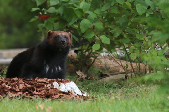 Yaroslawl, a two-year-old Eurasian wolverine, is a new arrival at the Detroit Zoo in 2018.
