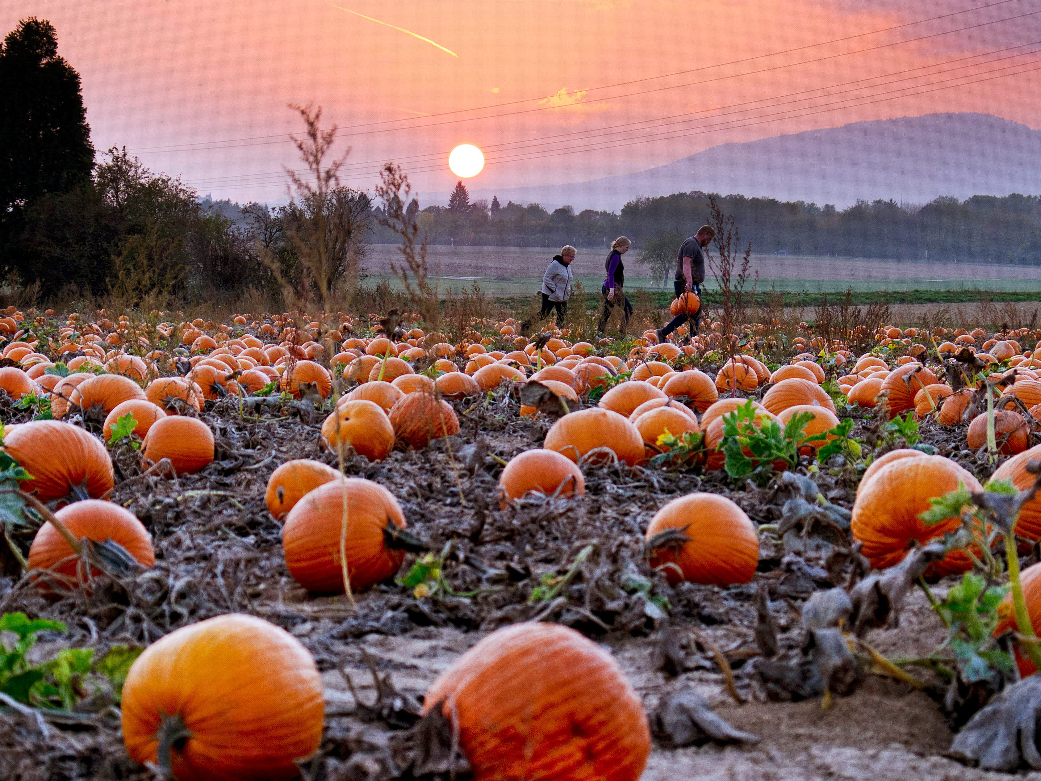 People collect pumpkins on a field in the outskirts of Frankfurt, Germany, as the sun sets Thursday, Oct. 18, 2018.