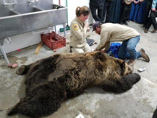 Montana Fish WIldlife and Parks' Sarah Zielke and Wesley Sarmento gather data on a male grizzly tranquilized inside a garage at Birch Creek Hutterite Colony Oct. 17.