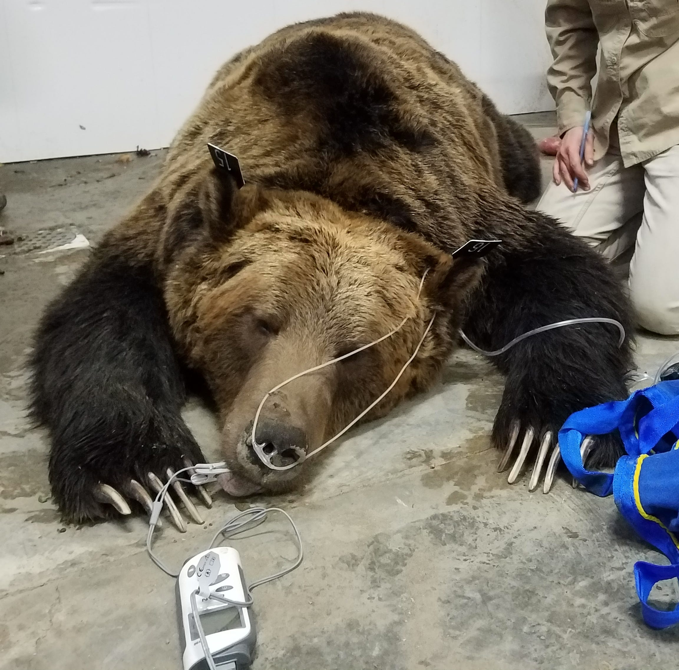 A male grizzly bear, estimated to weigh 900 pounds, was captured inside a garage at Birch Creek Colony Oct. 17.