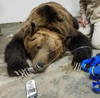 Brich Creek Grizzly Bear