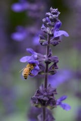 Bees hung out all day on the summer annual Big Blue salvia.
