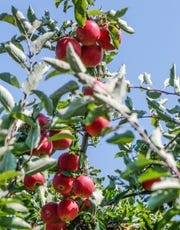 Apples grow in the orchard at Stuckey Farm, Orchard and Cider Mill in Sheridan Ind. on Tuesday, Aug. 28, 2018.  The farm features near 20 varieties of apples.